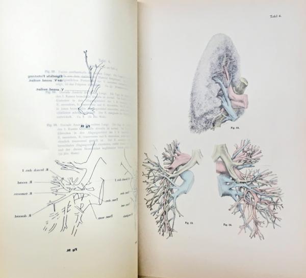 Das Venensystem der Japaner. 足立文太郎:日本人の静脈組織(全2冊 ...